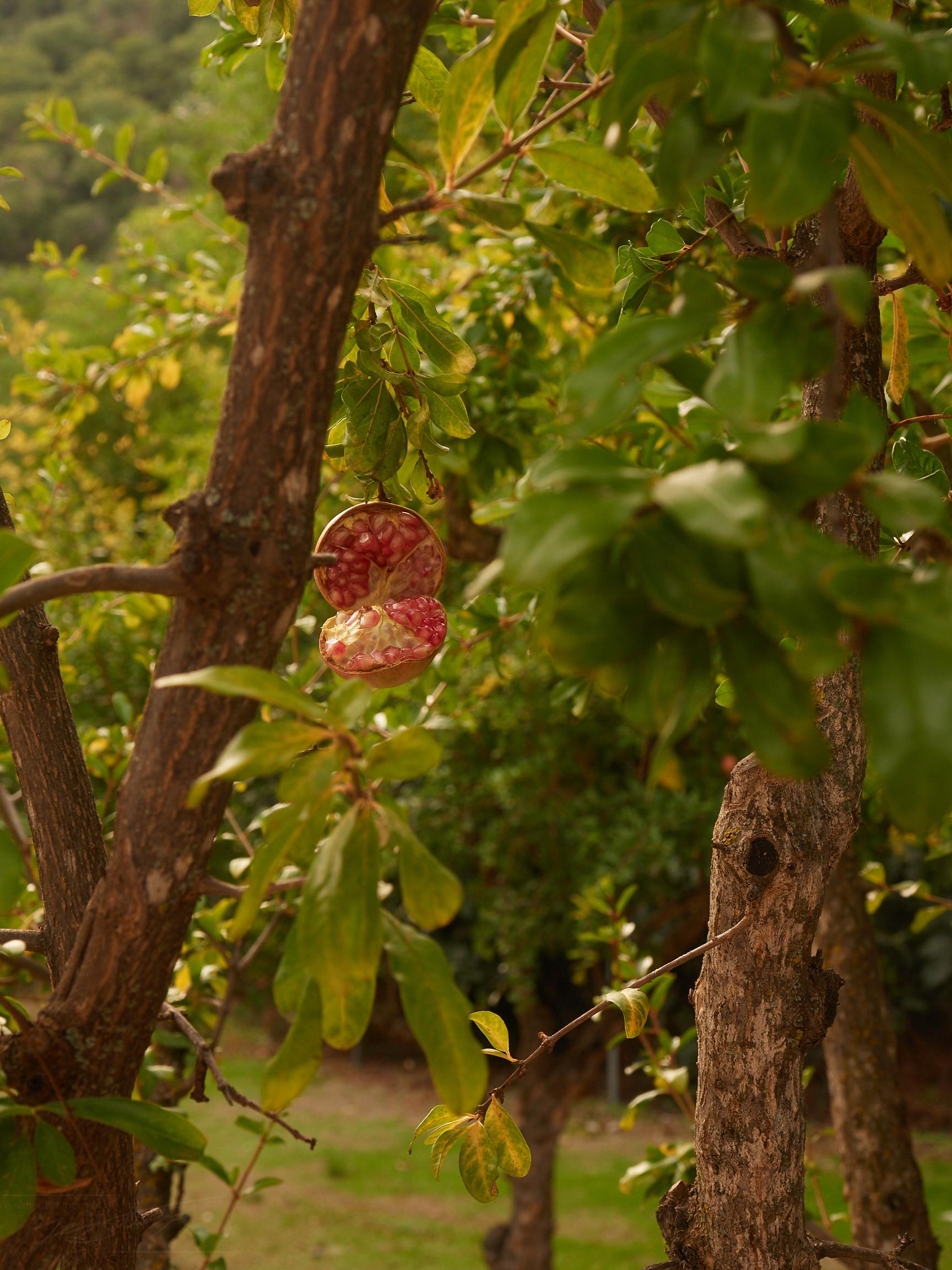 aufgeplatzter Granatapfel, Palacio de los Cordova